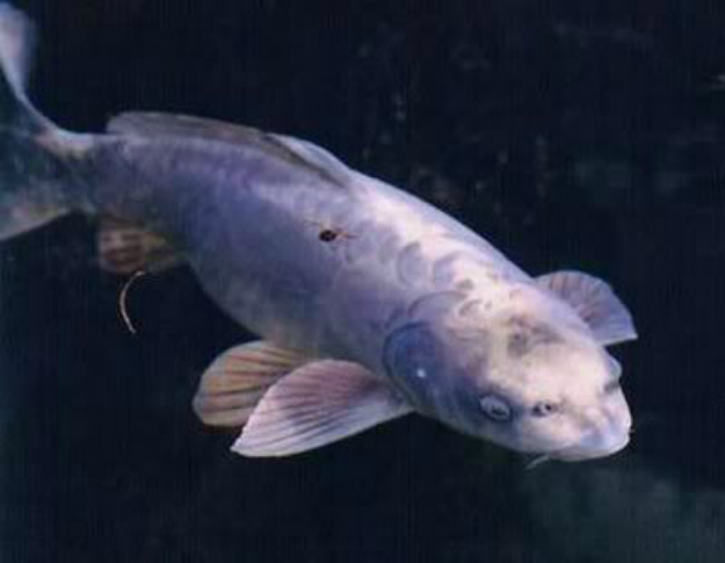 Ikan-Koi-berwajah-manusia-image-source