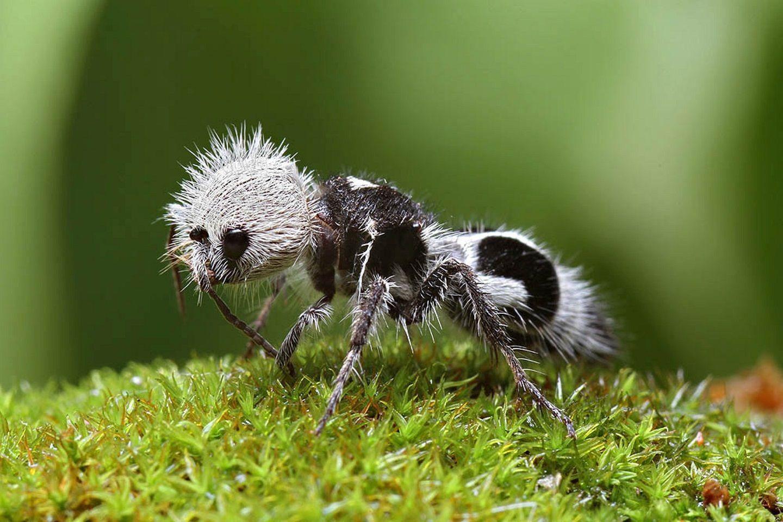 Semut-panda