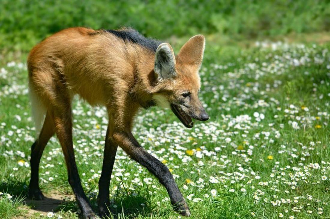Serigala-Maned