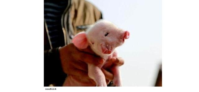 babi-berkepala-dua