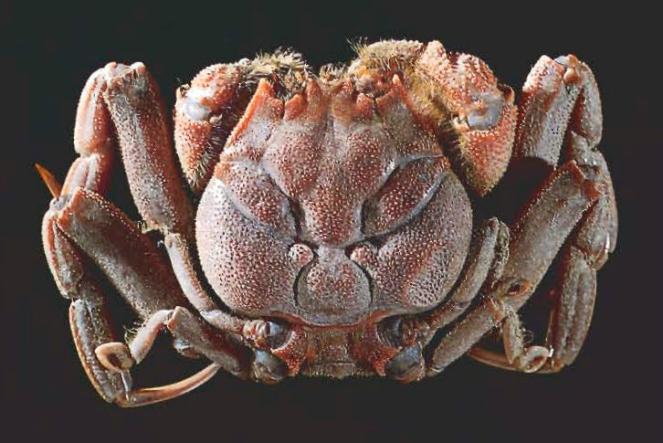 Heike-crab-image-source